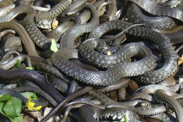 Много черных змей сонник