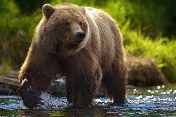 К чему снится медведь замужней женщине