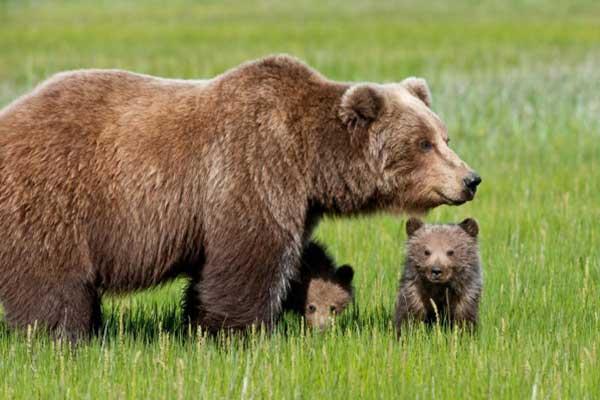 Толкование снов про медведей по Миллеру
