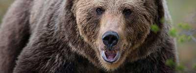 К чему снится медведь женщине беременной и замужней