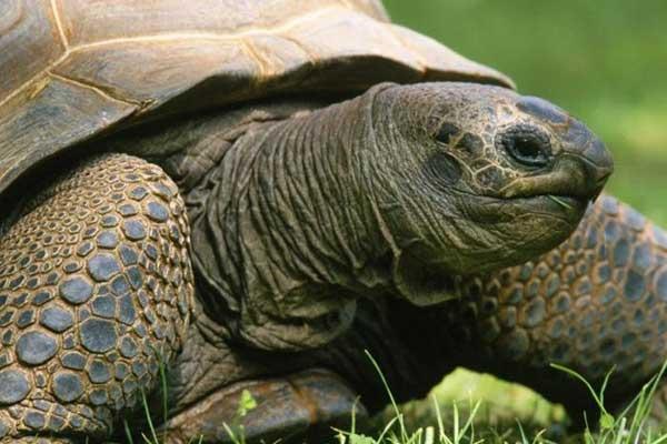 Приснилась живая черепаха