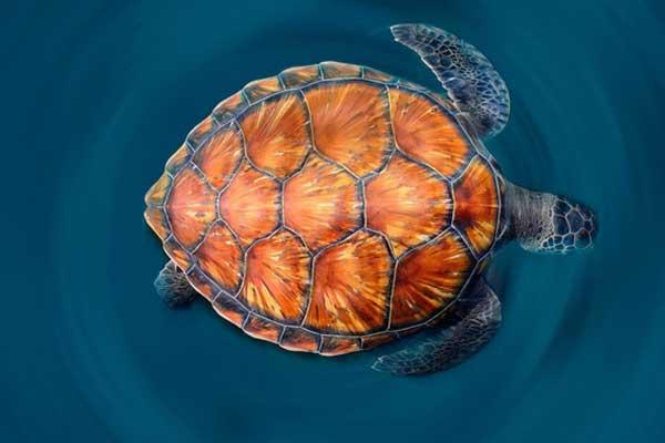 Видеть черепаху в воде во сне
