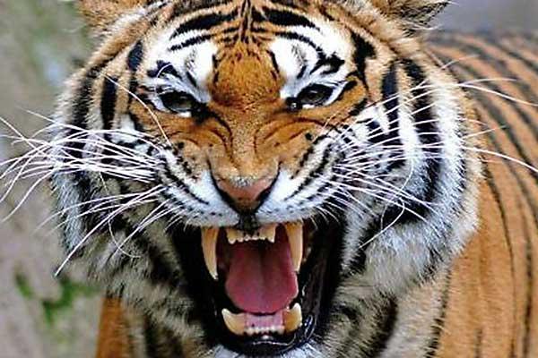 Видеть во сне нападающего агрессивного тигра