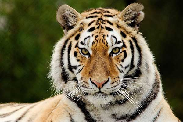 К чему видеть во сне тигра женщине