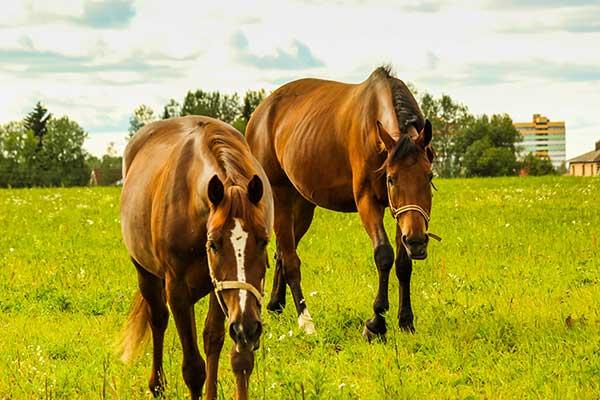 Рыжая лошадь по сонникам