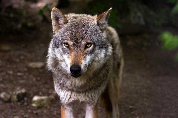 К чему снится волк женщине замужней thumbnail